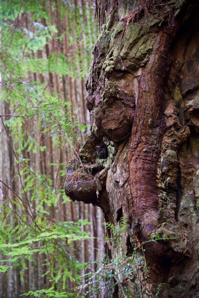 Sleeping Burl - Seen In Prairie Creek Redwoods State Park.