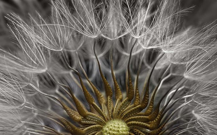 Senecio Vulgaris Seed Head, Israel, 2nd Place