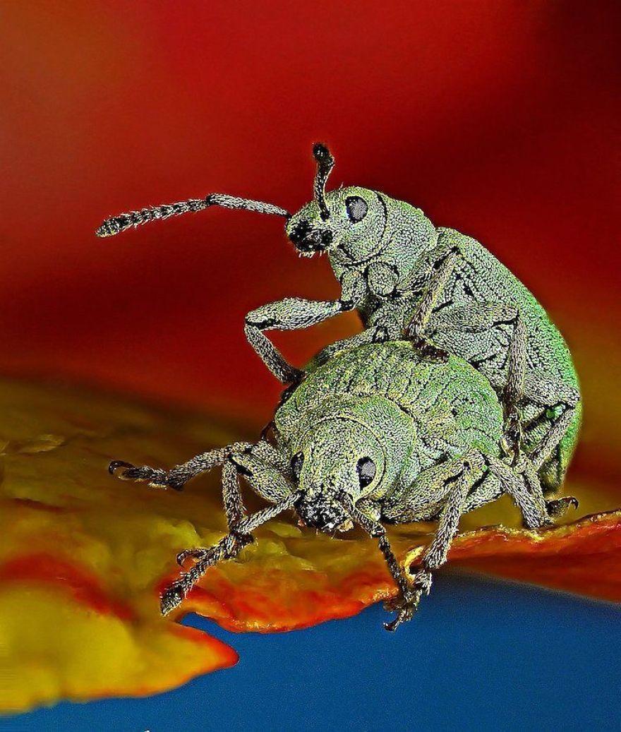Phyllobius Roboretanus (Weevil), Keszthely, 10th Place