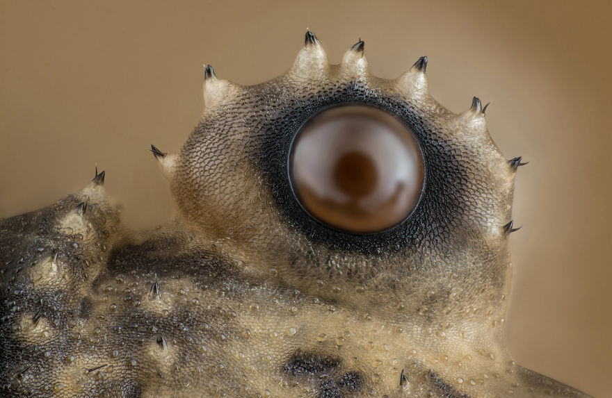 Opiliones (Daddy Longlegs) Eye, Washington, 12th Place
