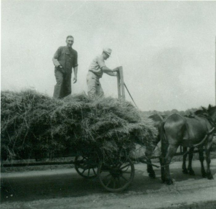 My Grandpa Driving A Team Of Horses While Collecting Hay.