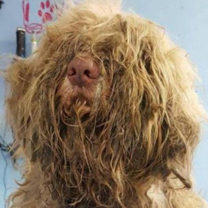 Dog Groomer Opens Shop In Middle Of Night To Give Stray Dog Haircut, Finds Real Beauty Beneath Matted Fur