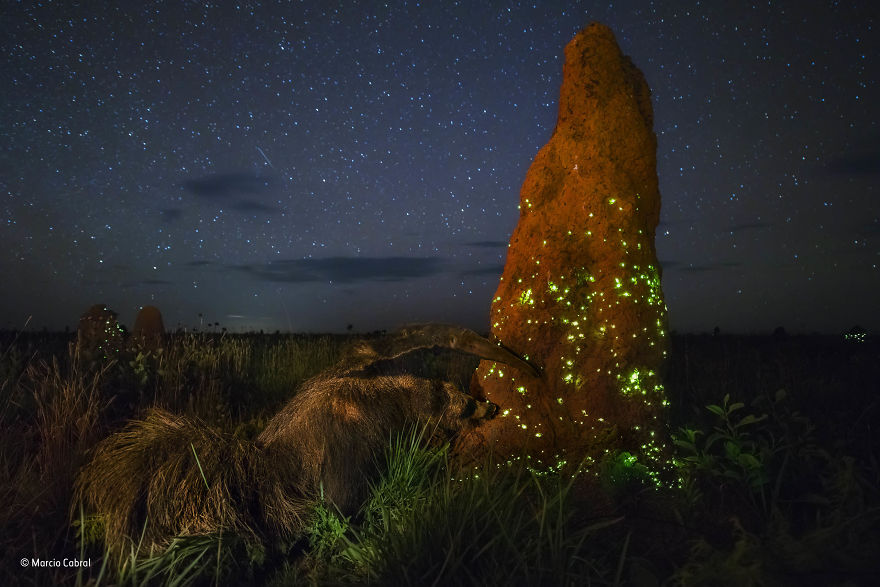'The Night Raider' By Marcio Cabral, Brazil, Animals In Their Environment Winner
