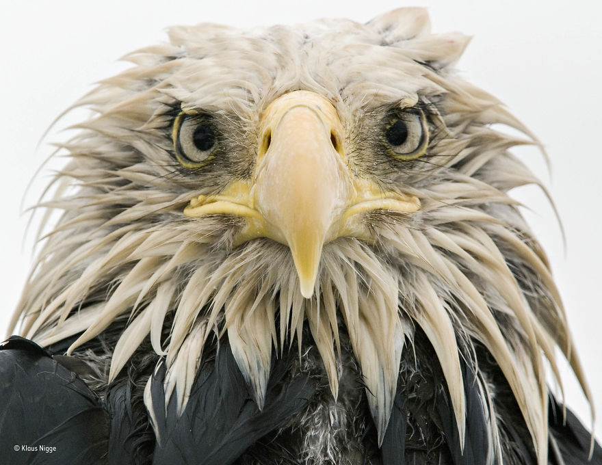 'Bold Eagle' By Klaus Nigge, Germany, Animal Portraits Finalist