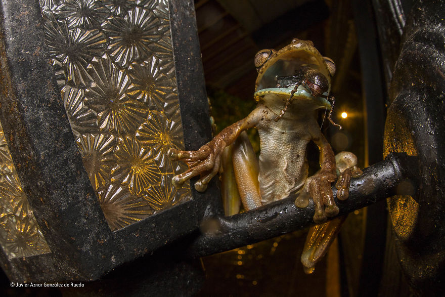 'The Gladiator Versus The Beetle' By Javier Aznar González De Rueda, Spain, Behaviour: Amphibians And Reptiles Finalist