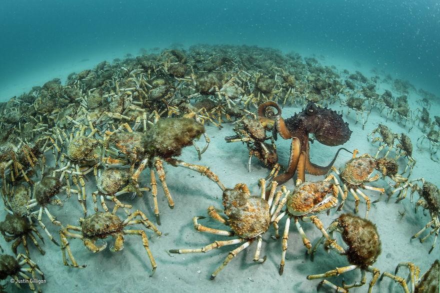 'Crab Surprise' By Justin Gilligan, Australia, Behaviour: Invertebrates Winner