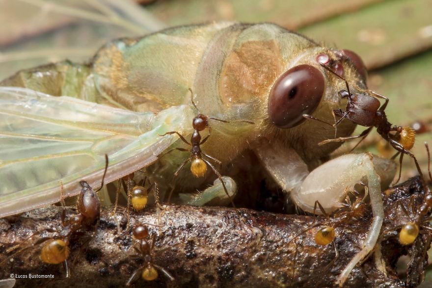 'Death By A Thousand Bites' By Lucas Bustamante, Ecuador, Behaviour: Invertebrates Finalist