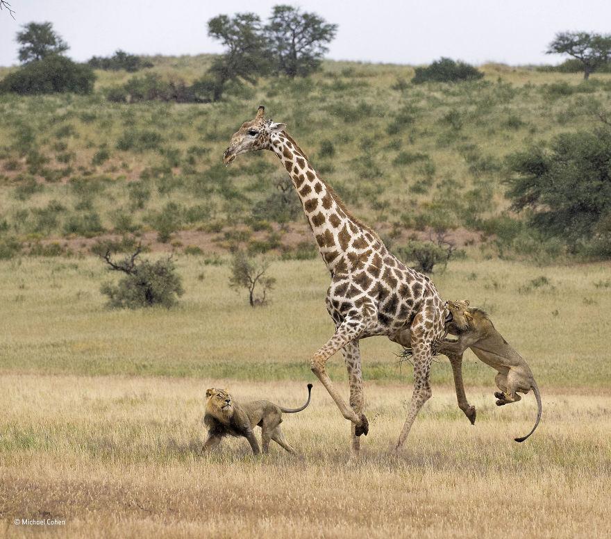 'Lions' Long Shot' By Michael Cohen, USA, Behaviour: Mammals Finalist
