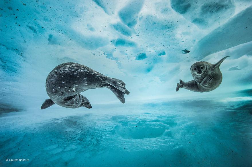 'Swim Gym' By Laurent Ballesta, France, Behaviour: Mammals Finalist