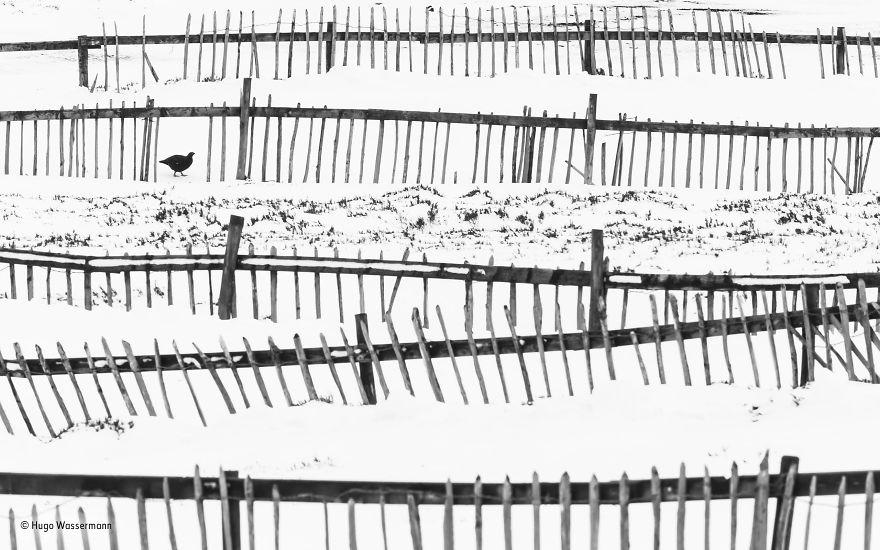 'Off Piste' By Hugo Wassermann, Italy, Urban Wildlife Finalist