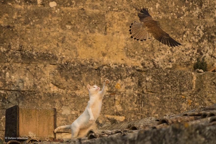 'Cat Attack' By Stefano Unterthiner, Italy, Urban Wildlife Finalist