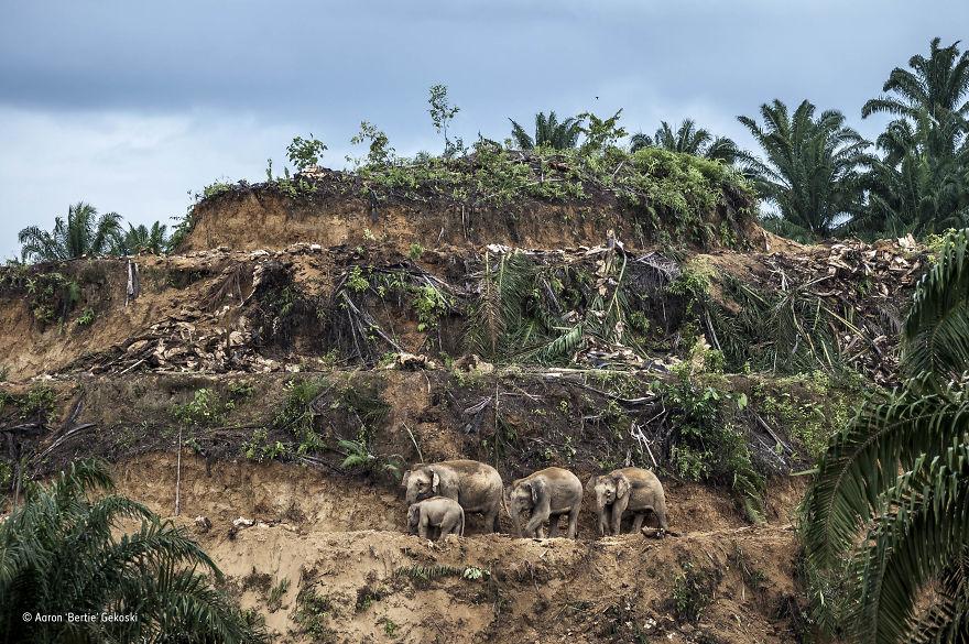 'Palm-Oil Survivors' By Aaron 'Bertie' Gekoski, UK/USA, The Wildlife Photojournalist Award: Single Image Winner