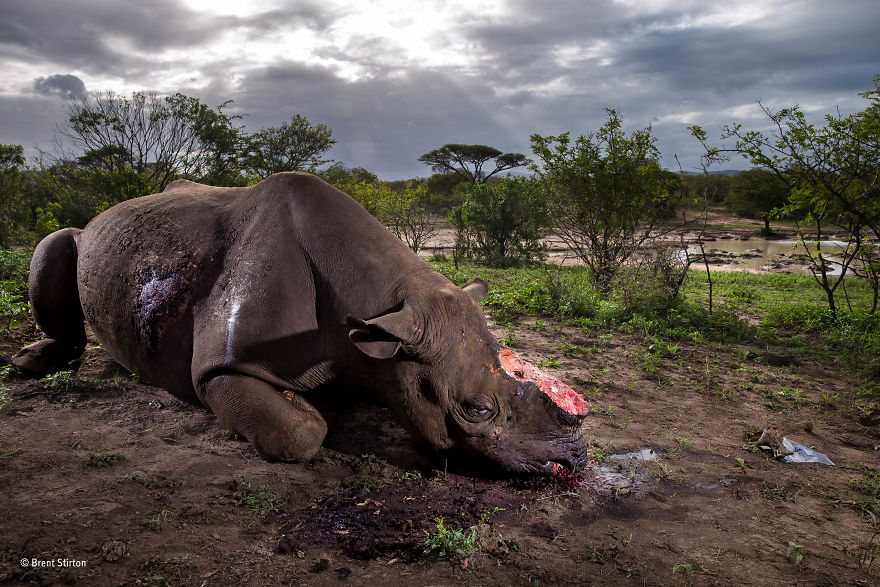 'Memorial To A Species' By Brent Stirton, South Africa, Wildlife Photographer Of The Year Grand Title Winner