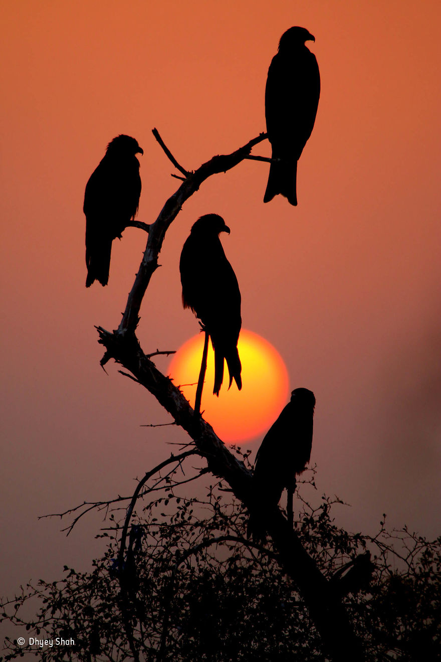'Black Kites, Red Sunset' By Dhyey Shah, India, 10 Years And Under Finalist