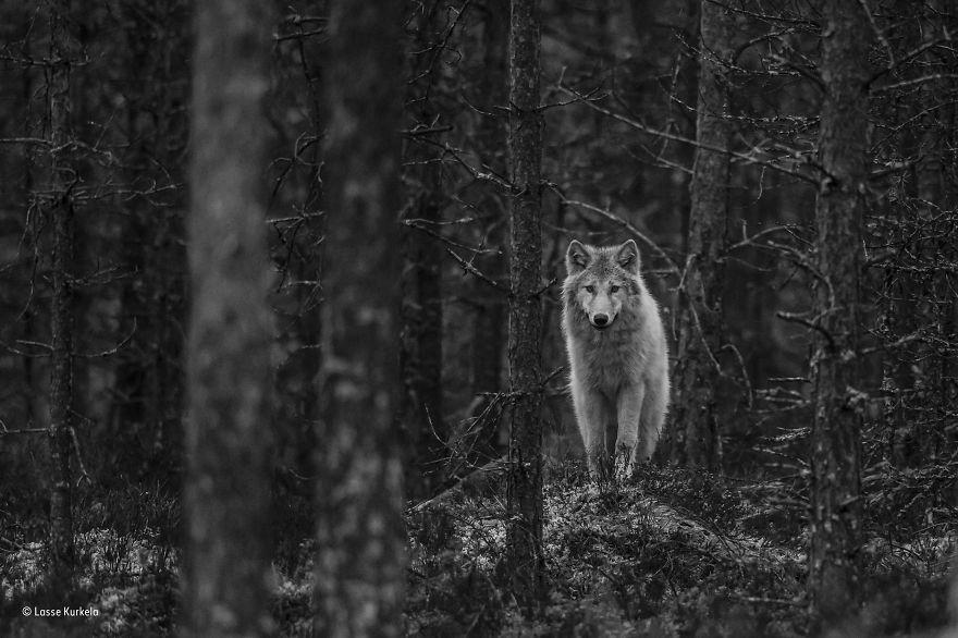 'Wolf Watch' By Lasse Kurkela, Finland, 11–14 Years Old Finalist