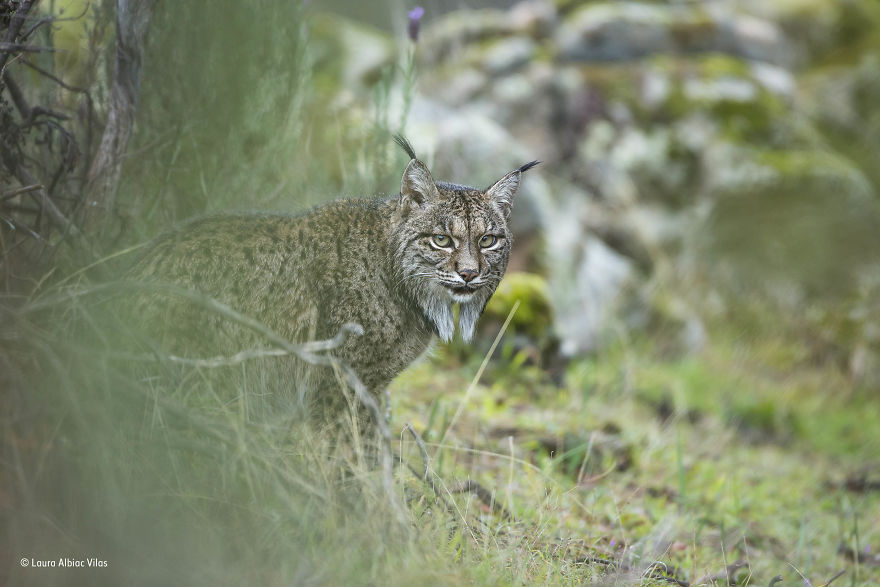 'Glimpse Of A Lynx' By Laura Albiac Vilas, Spain, 11–14 Years Old Finalist