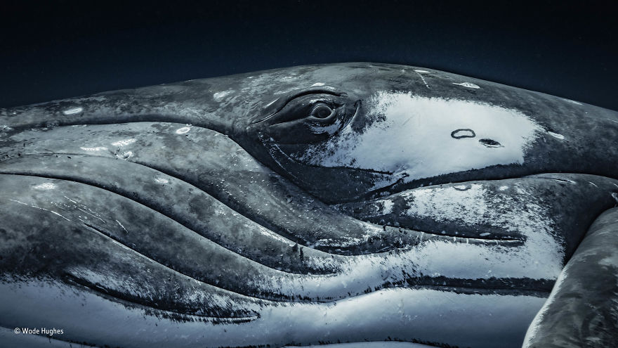'The Look Of A Whale' By Wade Hughes, Australia, Animal Portraits Finalist