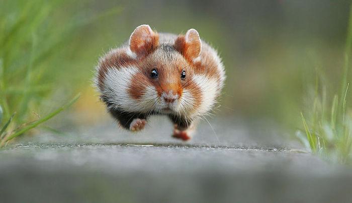 Wild-European-Hamsters