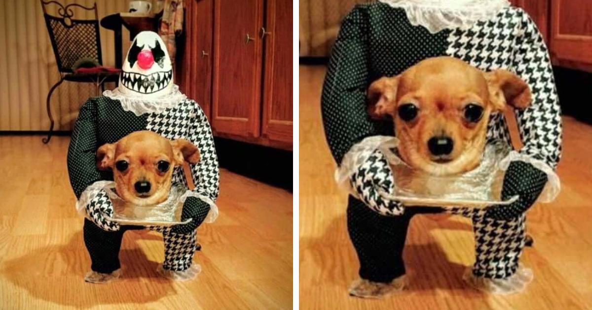 Cutest Chihuahua's Halloween Costume: Funny Dog ... - YouTube
