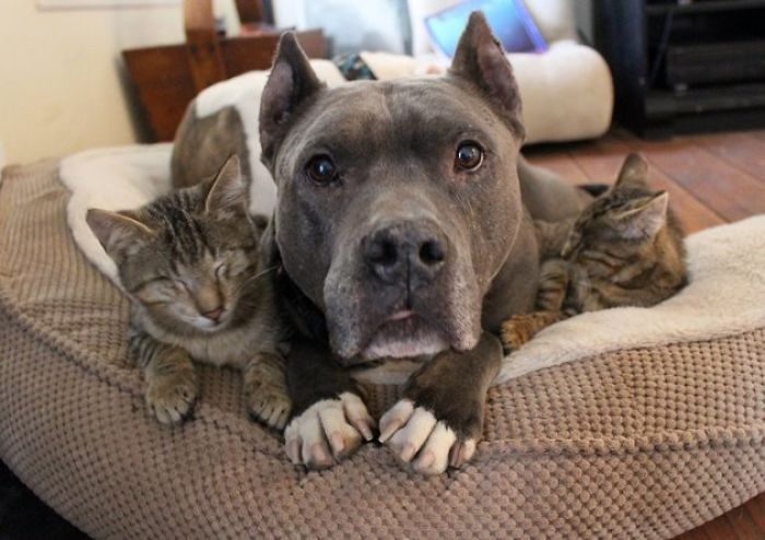 Pit Bull Fosters Blind Kittens (Source)