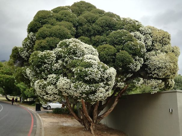 This Tree Looks Like Broccoli And As A Bonus, The White Flowers Make It Cauliflower