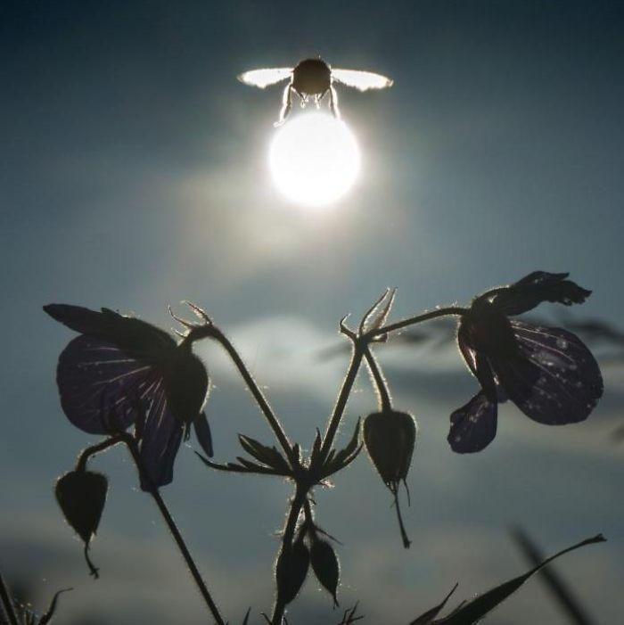 Abejorro llevándose el sol