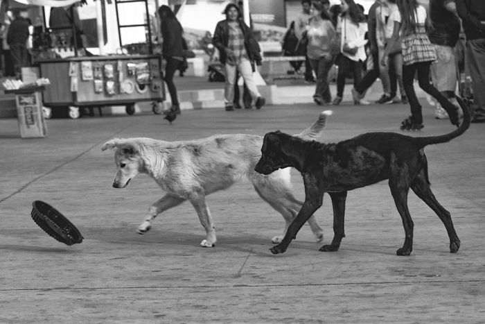 Dogs Will Be Dogs! Two Adorable Street Dogs At Play – 22 Image B&w Photo Series