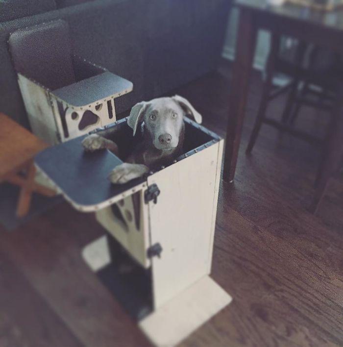 Adorable Labrador Has To Eat In A High Chair Because Of A Rare Medical Condition