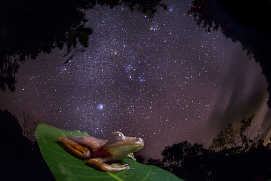 The Vanishing. An Amazon Gladiator Frog Appears Ghostly Against The Backdrop Of The Milky Way, Depicting The Disappearance Of Frogs Around The World