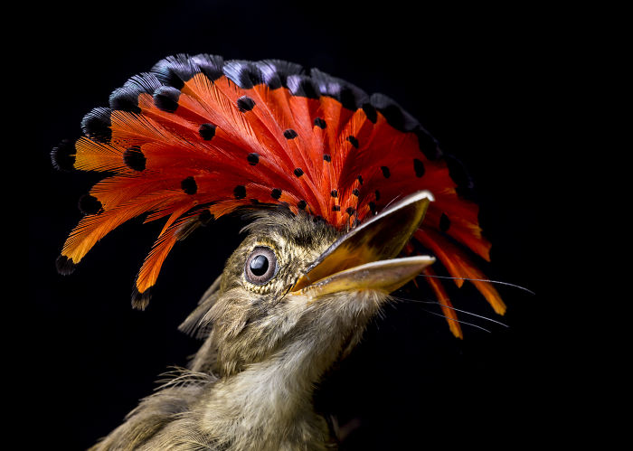 Royal Flycatcher In Cocobolo Nature Reserve, Panama