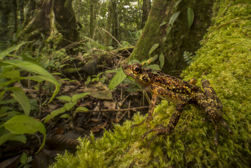 A Bornean Rainbow Toad, Rediscovered After 87 Years Without Trace