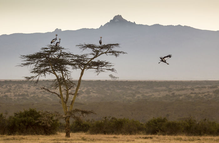 Crowned Cranes Glide From A Tree In Front Of Mount Kenya At Daw