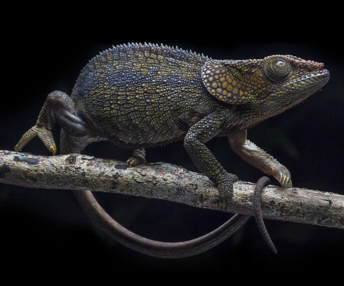 Short Horned Chameleon In Andasibe, Madagascar