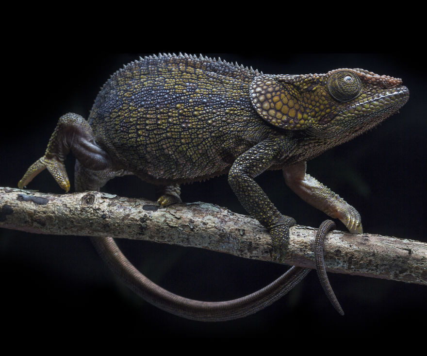 Short Horned Chameleon In Andasibe, Madagascar