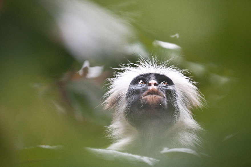 An Endangered Zanzibar Red Colobus Monkey In Zanzibar, Tanzania