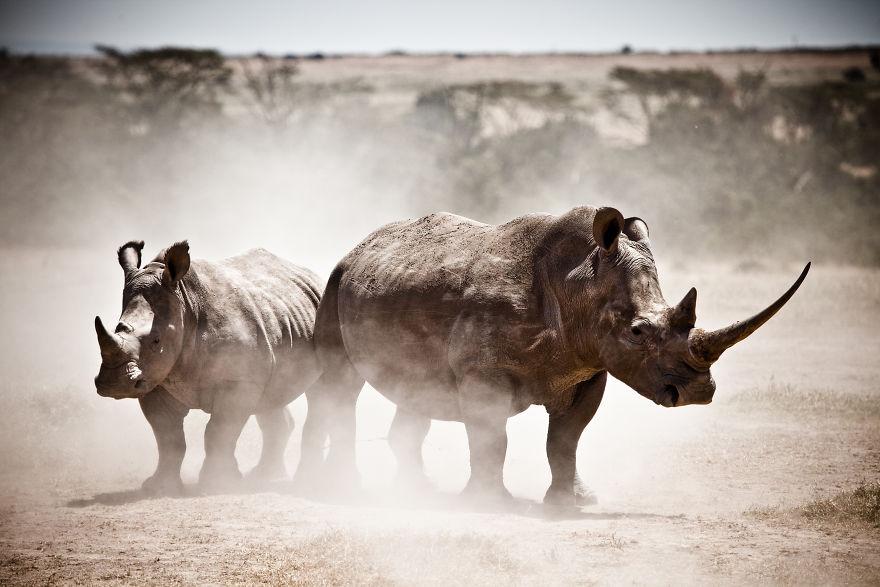 Southern White Rhinos In Kenya