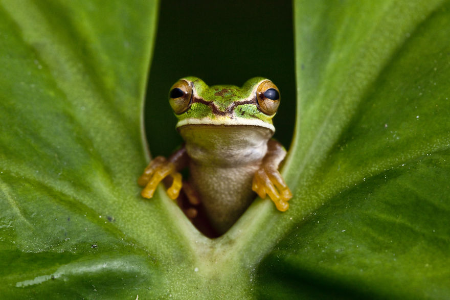 A Masked Treefrog In Colombia. Frogs Are Bellwethers Of Ecosystem Health