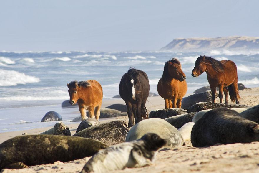 Wild Horses Seals