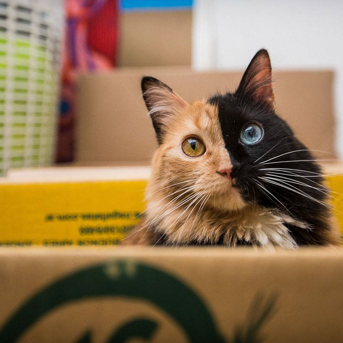 chimera-cat-split-face-different-eyes-gataquimera-12
