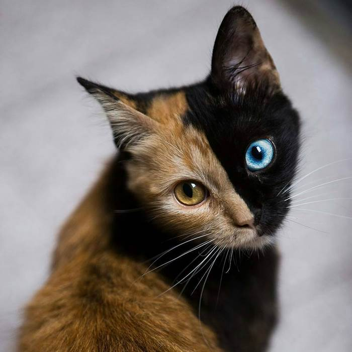 Meet Quimera A Cat With Two Faces Who Became Internet Star For - 24 beautiful animals with different coloured eyes