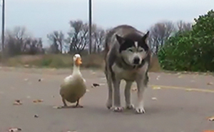 An Unlikely Friendship Between A Dog And A Duck Surprised A Small Town In Minnesota, And It Will Make Your Day