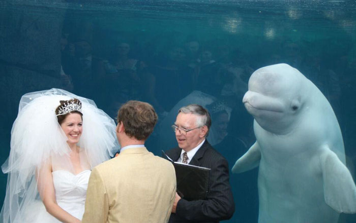 Beluga Whale Photobombs Wedding