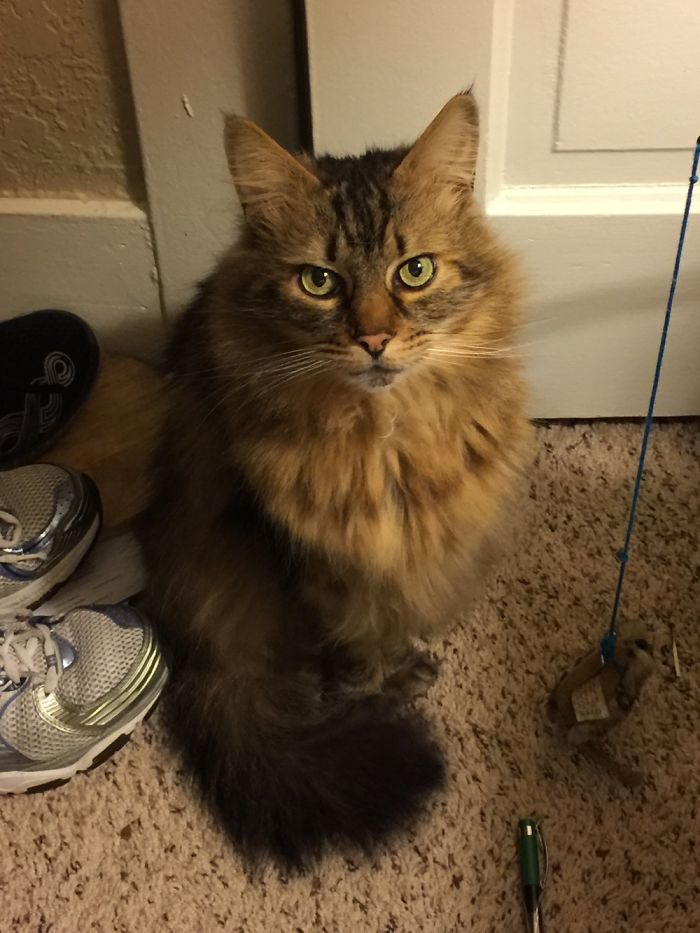 This Is Thelonius Paddington Monk, A.k.a. King Fluffybutt, A.k.a Monk, Maine Coon Of The Desert