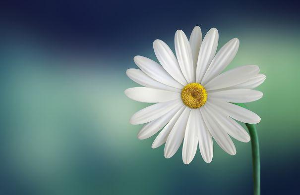 marguerite-daisy-beautiful-beauty-5a18a659e2e01.jpg