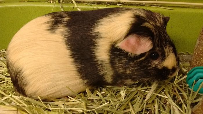 "This Is The Guinea Pig I Adopted For My High School Spanish Classroom, Named Mía, But She Gets Called Gopher, ""The Cuy"", Piggy, Puerca, Puerquita, Pig, Etc (Even Though Puerca/puerquita Refer To Pigs That Say Oink, Not Guinea Pigs)"