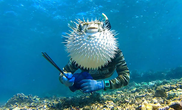 This Is The Hilarious Moment A Curious Pufferfish Managed To Photobomb An Unsuspecting Diver