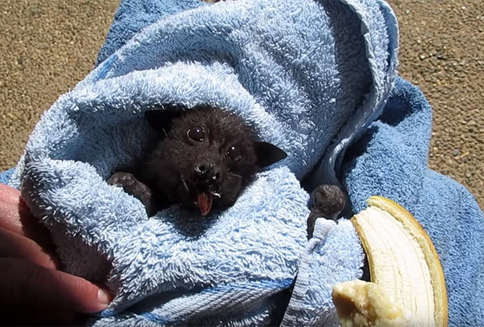 rescued-baby-bat-eat-banana-miss-alicia-3