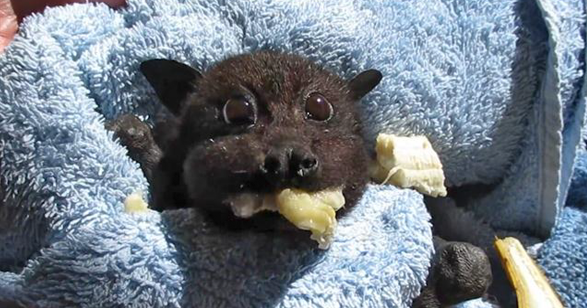 Rescued Baby Bat Stuffs Her Cheeks With Banana After Being ...