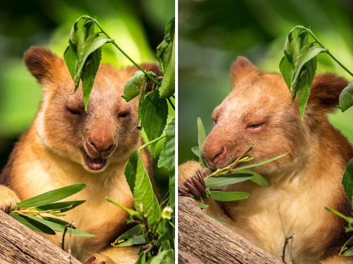 Tree Kangaroo Pic