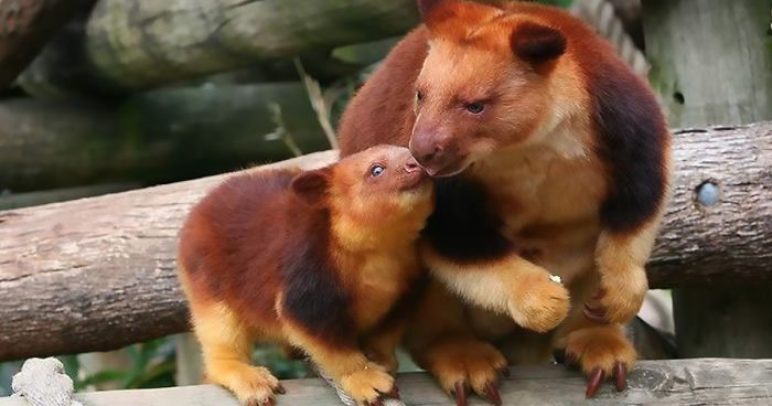 Turns Out Tree-Kangaroos Exist, And It's Impossible To